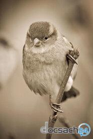 Chim tuyết nhỏ